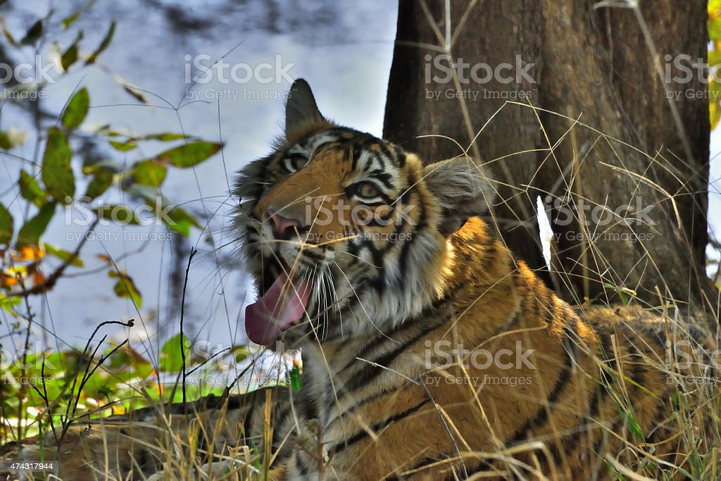 Yawning Tiger in Ranthambore National Park stock photo