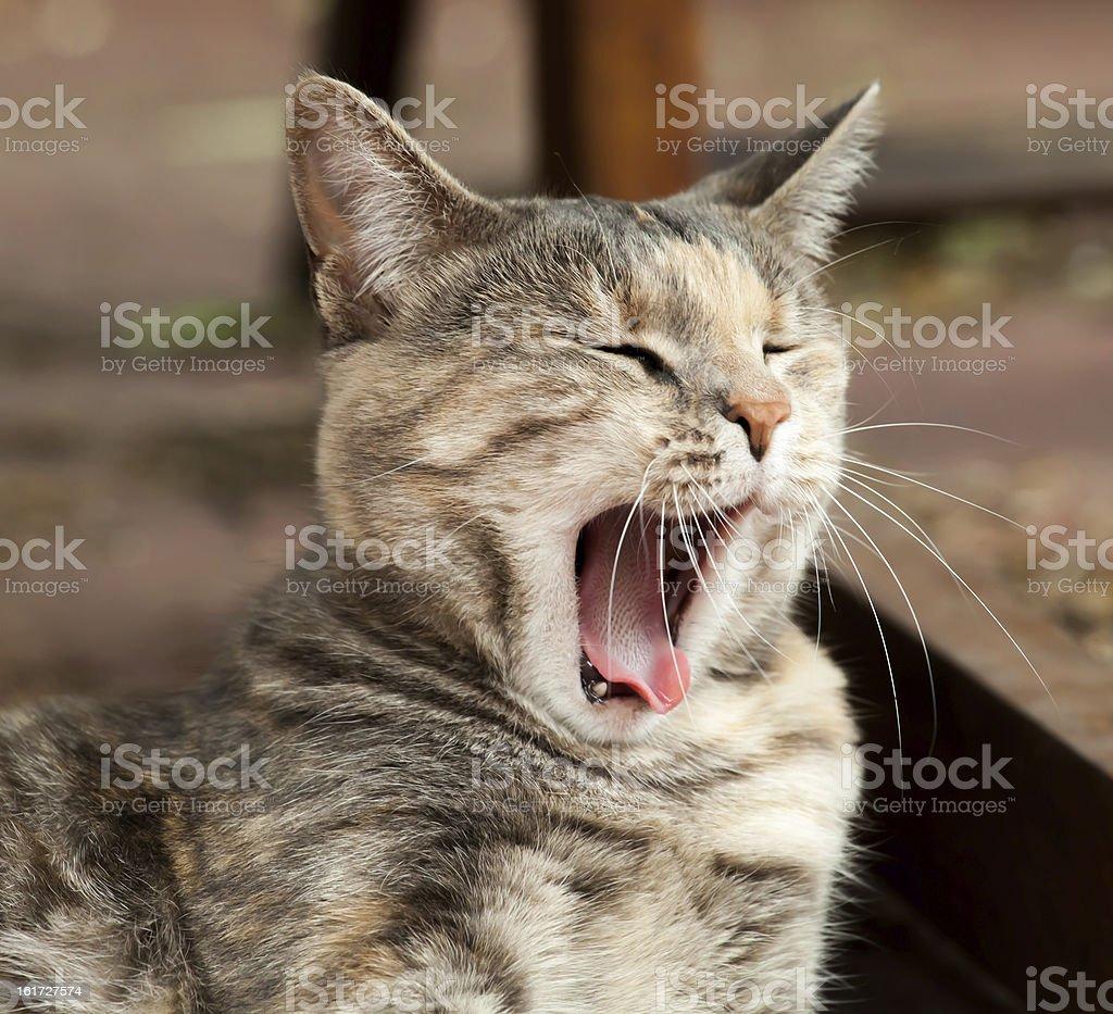 Yawning Tortoiseshell-Tabby Cat royalty-free stock photo