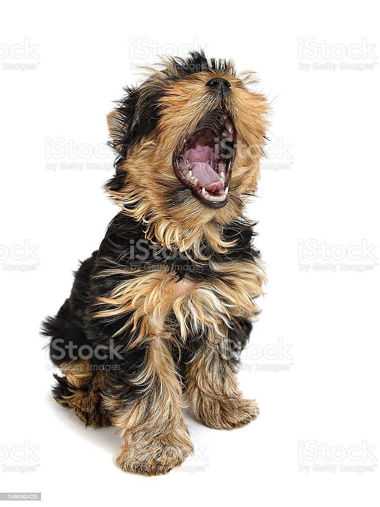 Yawning yorkie isolated on white stock photo