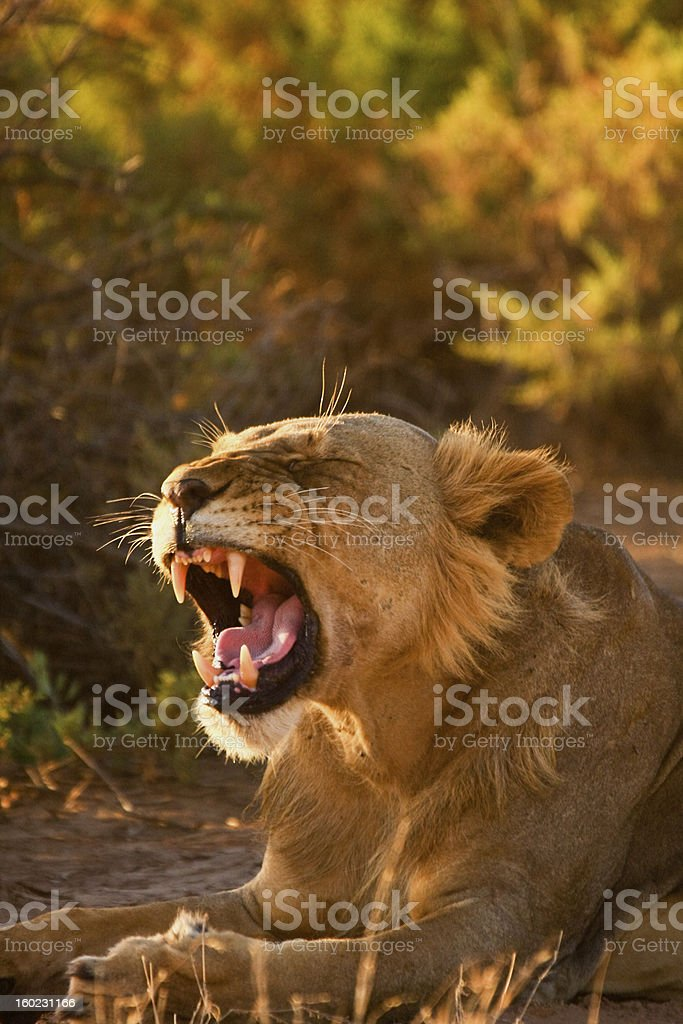 Yawning young male lion royalty-free stock photo