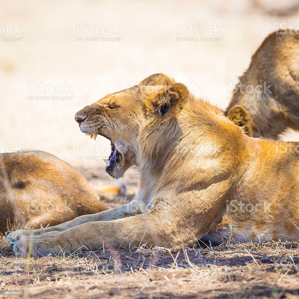 Yawning young male lion rests in Serengeti stock photo