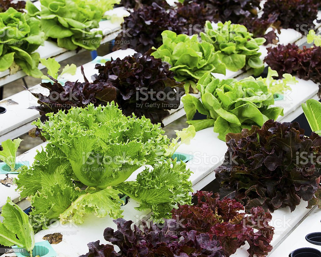 ydroponics Vegetable royalty-free stock photo