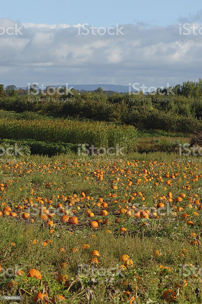 ye old pumpkin patch stock photo