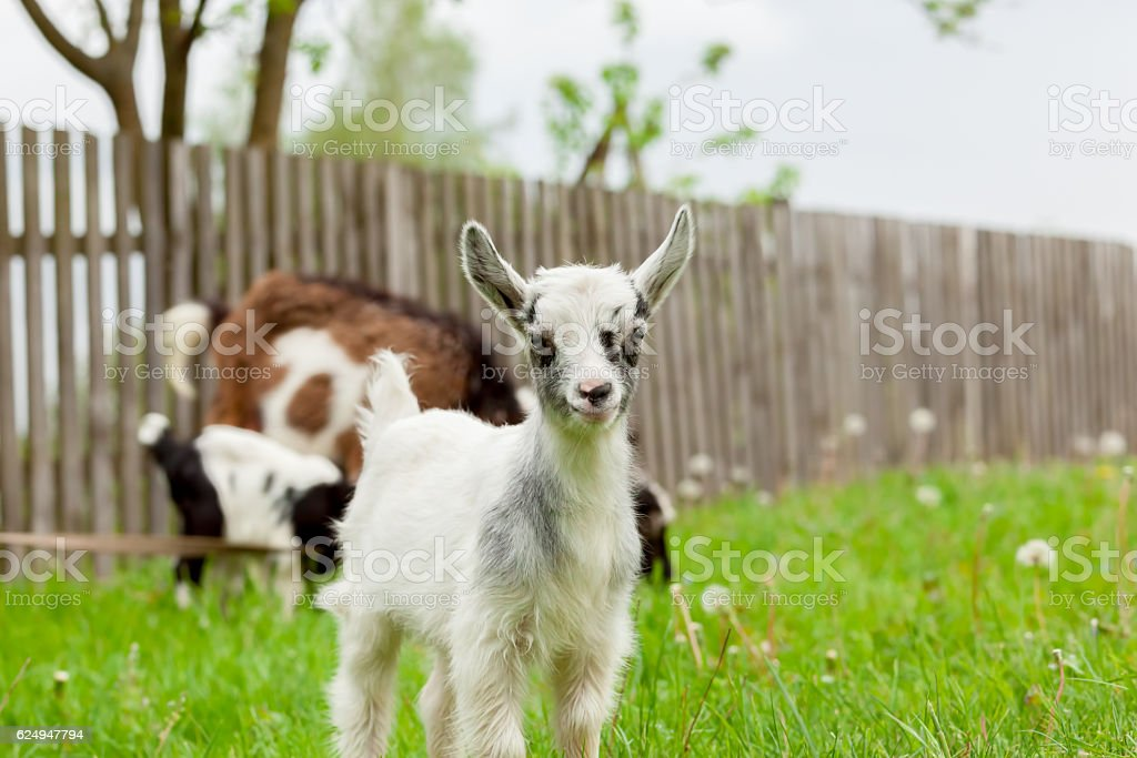 Yeanlings are playing on a green meadow. stock photo