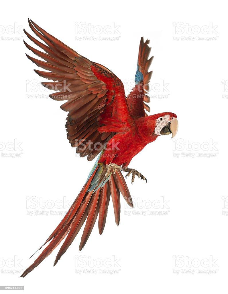 1 year old green winged Macaw in flight. Ara Chloropertus royalty-free stock photo