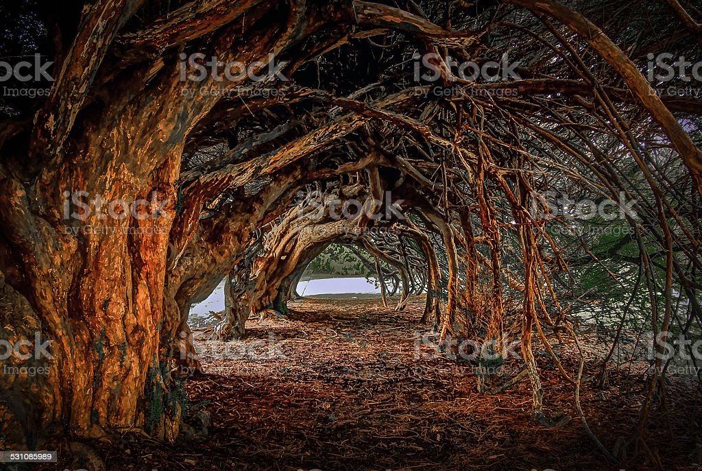 1000 year old yew tree at Aberglasney gardens stock photo