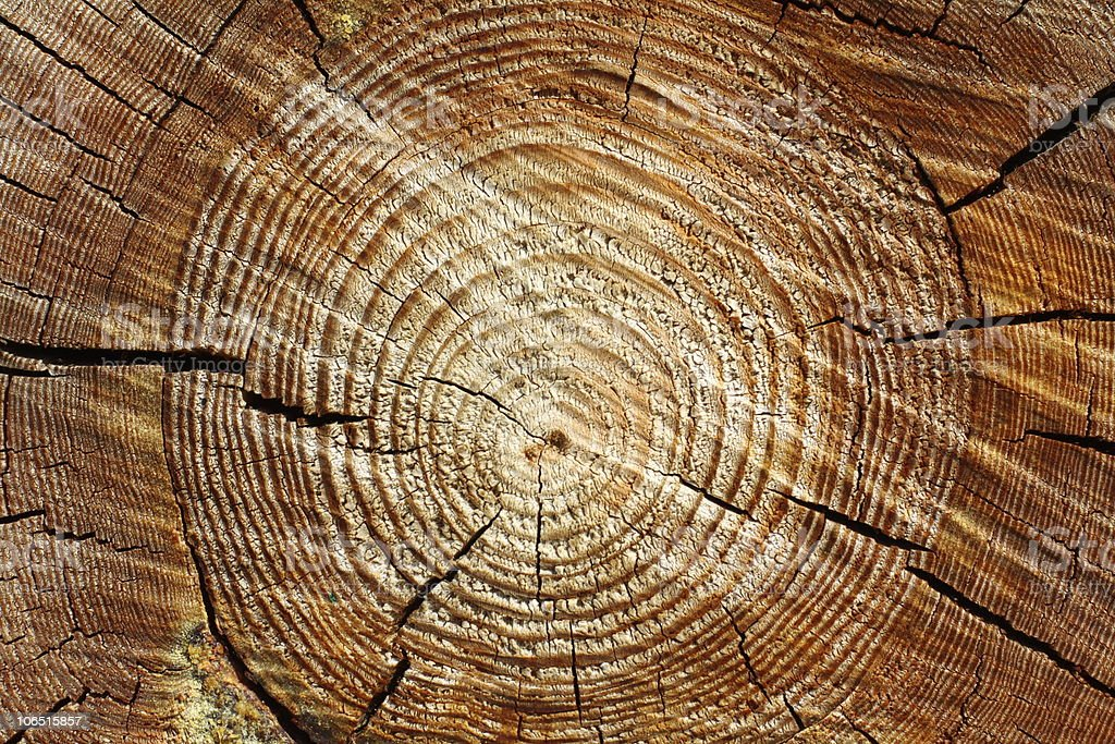 Year rings of a pine stock photo