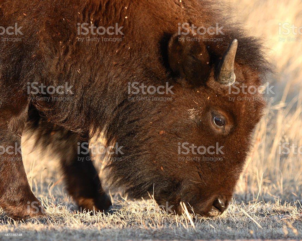 Yearling Bison Feeding stock photo