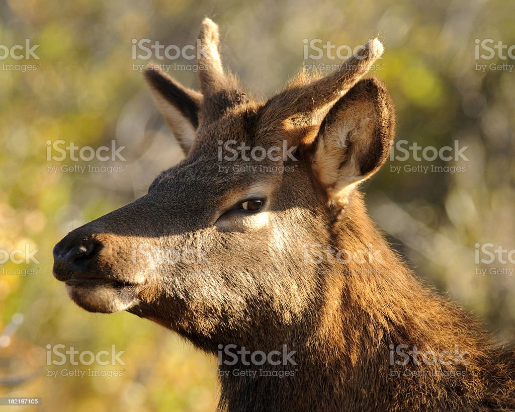 Yearling Bull Elk (Cervus elaphus) Portrait royalty-free stock photo