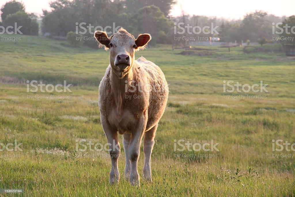 Yearling Calf stock photo