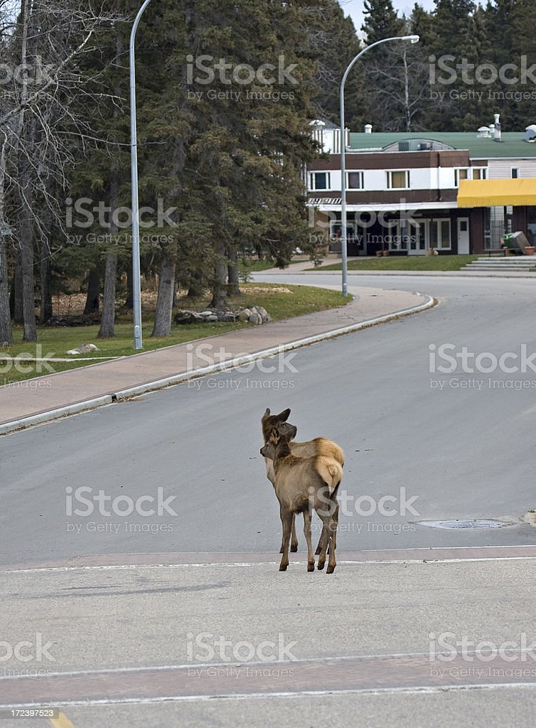 Yearling Elk on Road stock photo