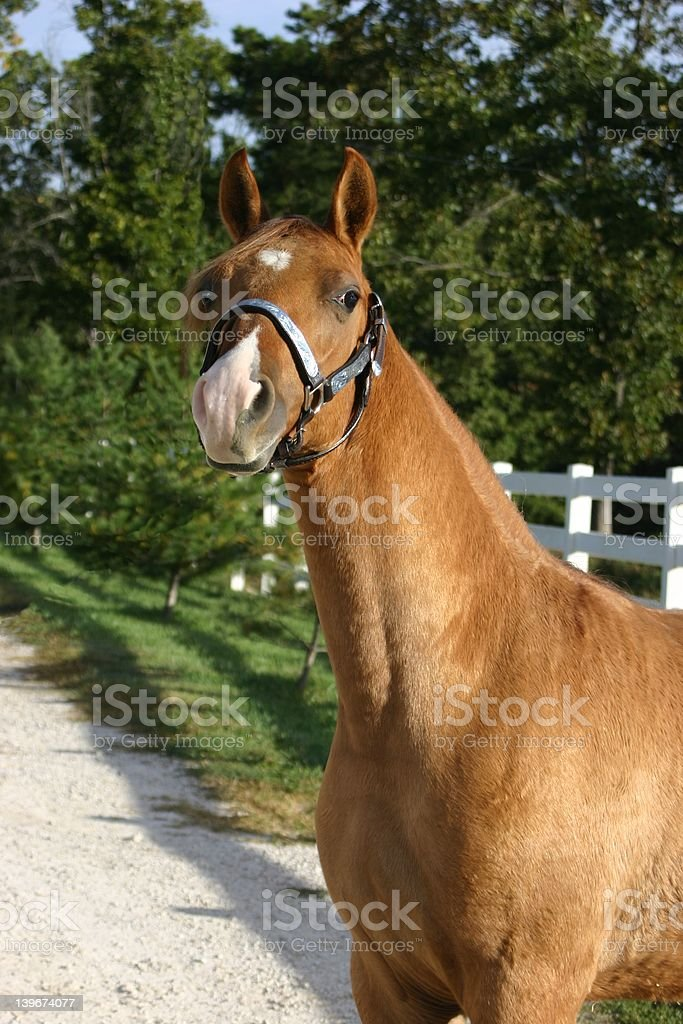 Yearling Red Dun Colt stock photo