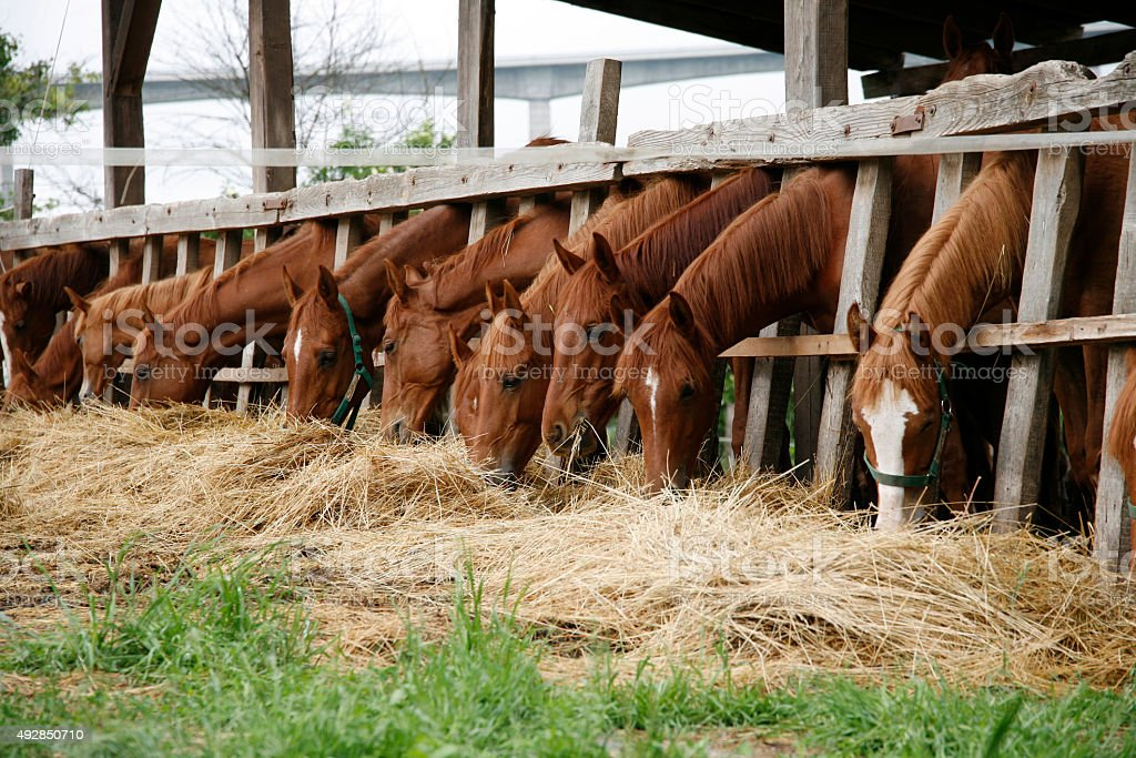 Yearlings eating fresh hay on a beautiful horse farm summertime stock photo