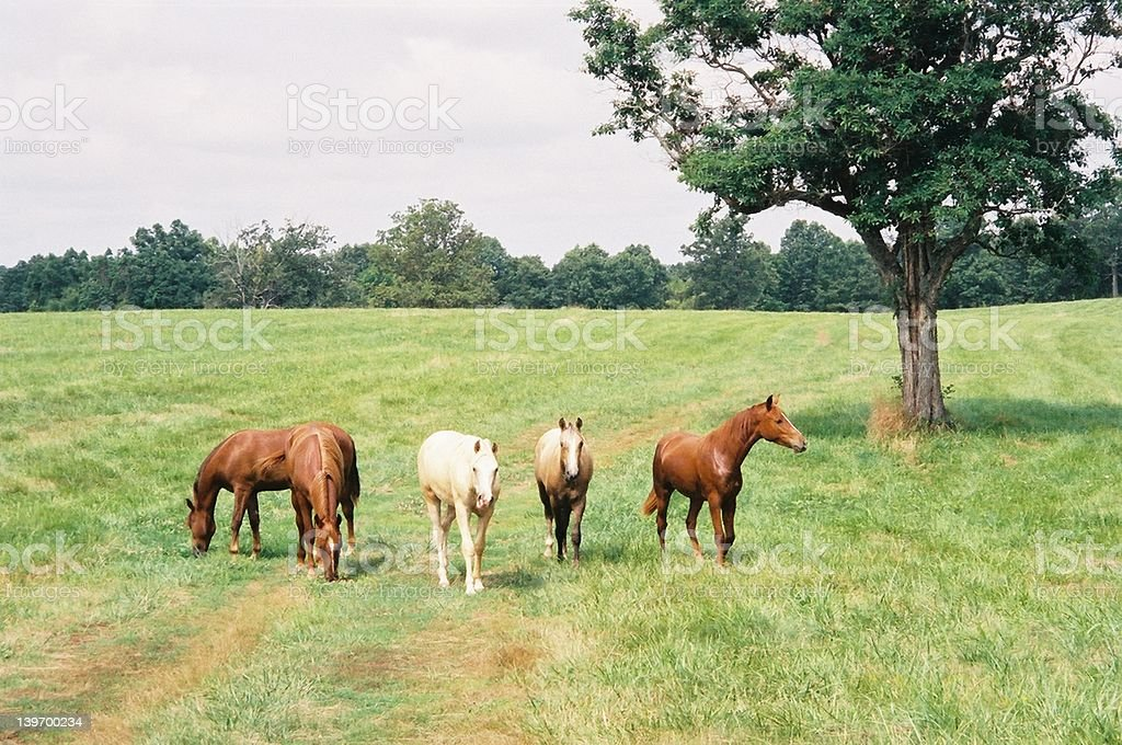 Yearlings in Field stock photo