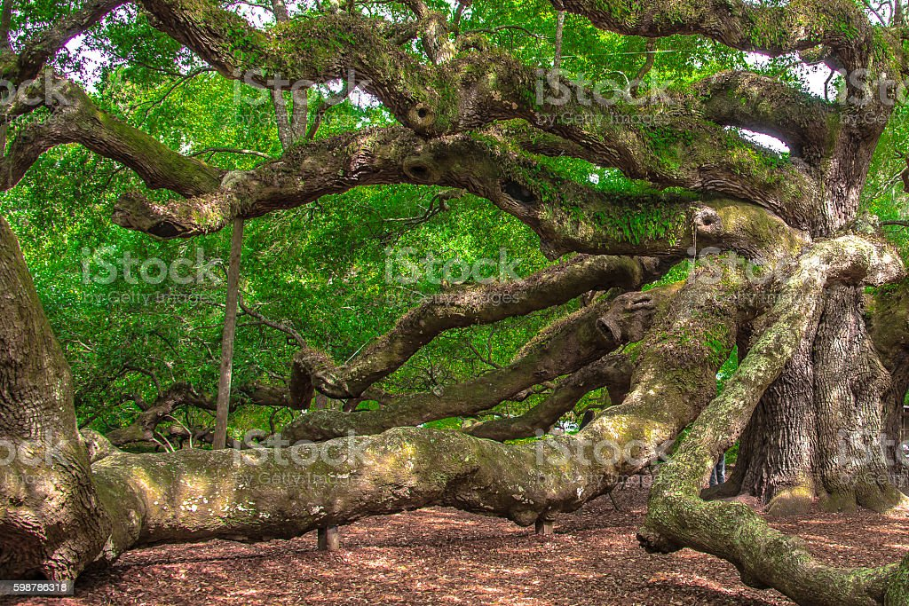 1500 Years Old Tree stock photo