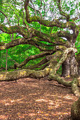 1500 Years Old Tree