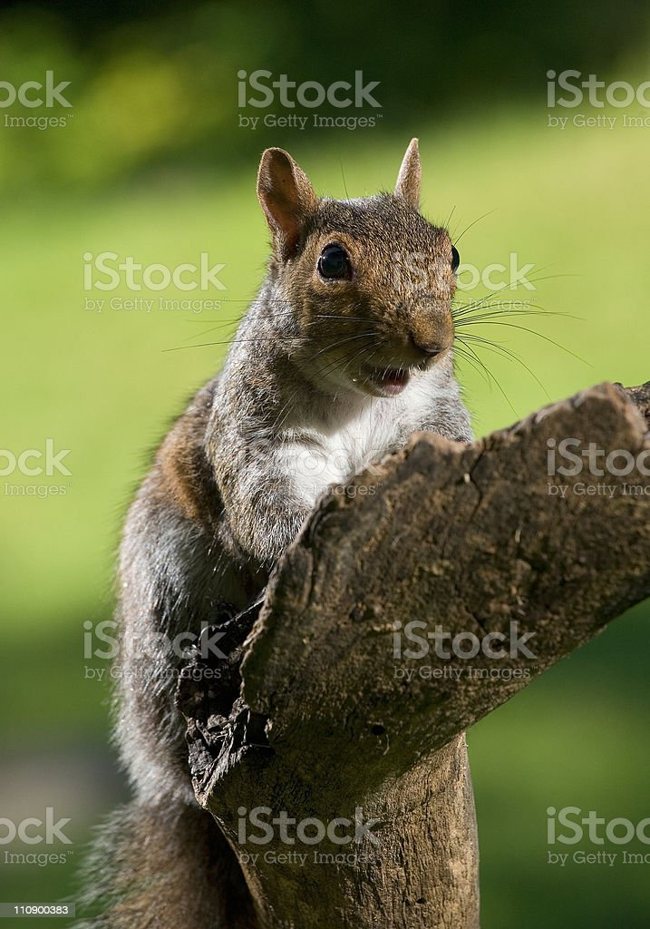 Yelling squirrel stock photo