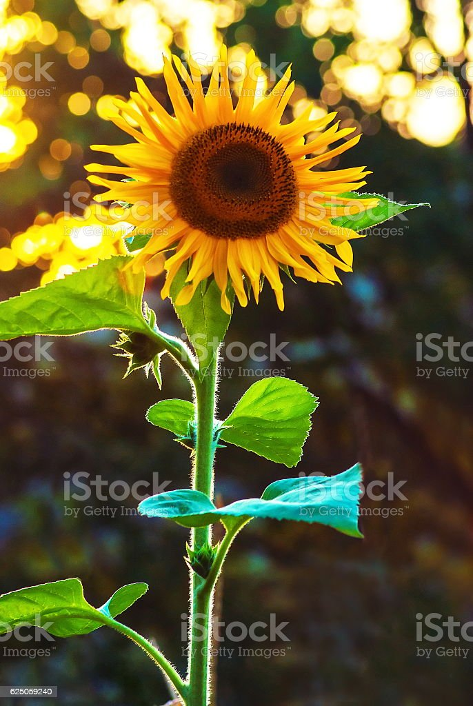Yelllow sunflowers at rural area meadow landscape stock photo
