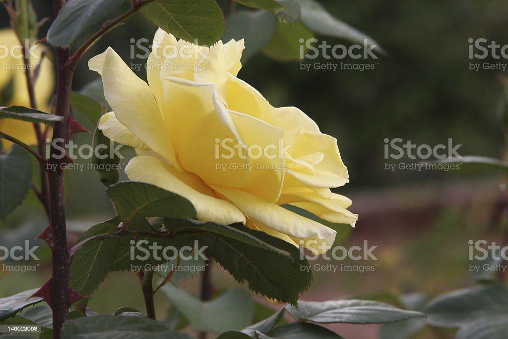 Yelloe Rose royalty-free stock photo