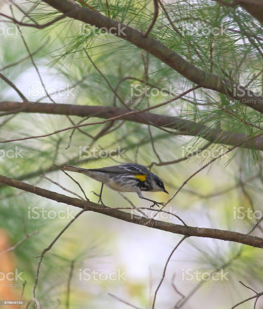 Yelloow-rumped Warbler going for a walk stock photo