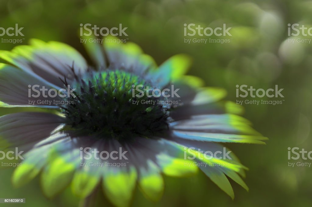 Yellov-blue garden flower on a  green blurred background bokeh. Close-up. Floral background. Soft focus.Bbloom in the sun. Nature. stock photo