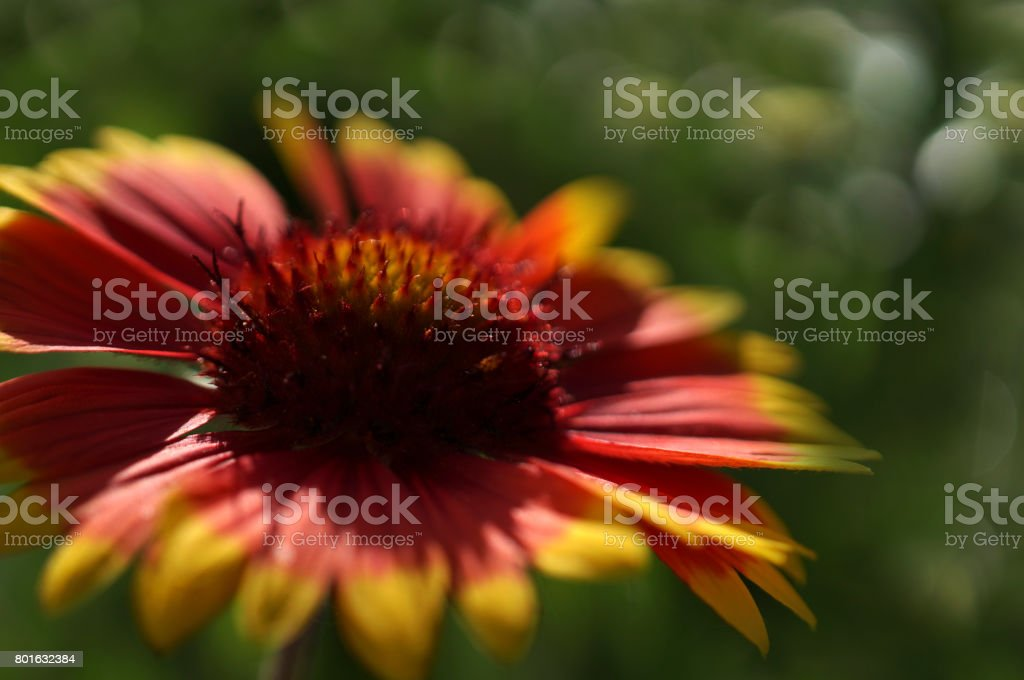 Yellov-red garden flower on a  green blurred background bokeh. Close-up. Floral background. Soft focus.Bbloom in the sun. Nature. stock photo