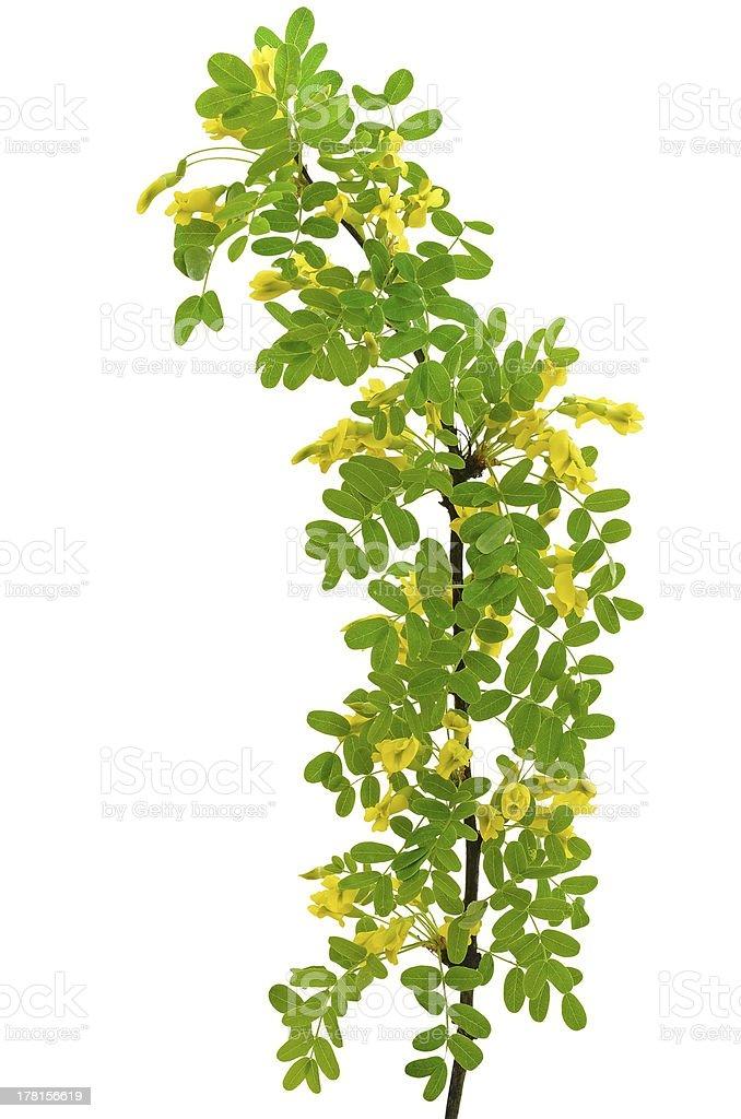 Yellow acacia (Caragana arborescens) branch stock photo