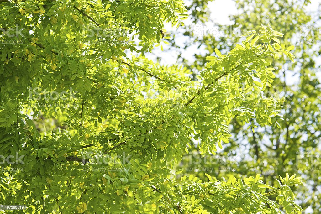Yellow acacia / caragana stock photo