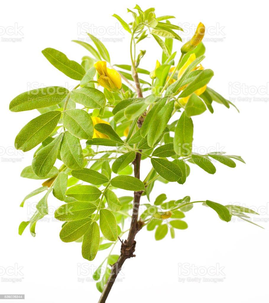Yellow acacia on white stock photo