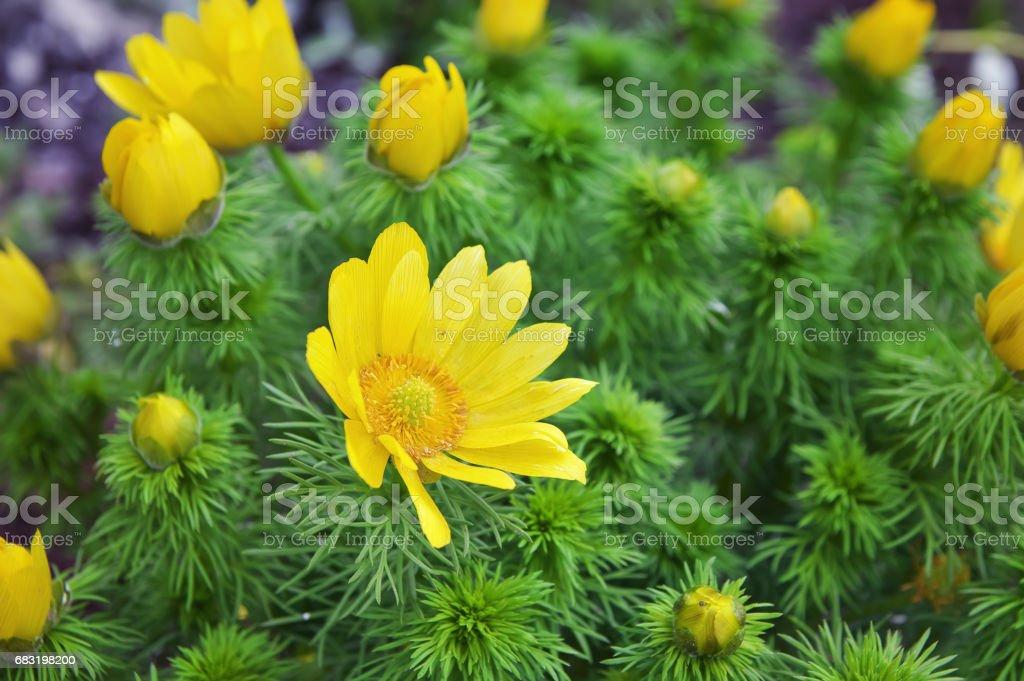 Yellow Adonis flower close-up. cuckooflower blooming stock photo