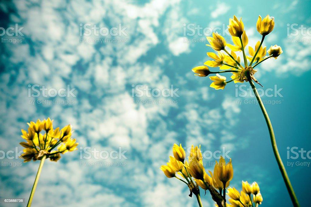 Yellow Allium stock photo