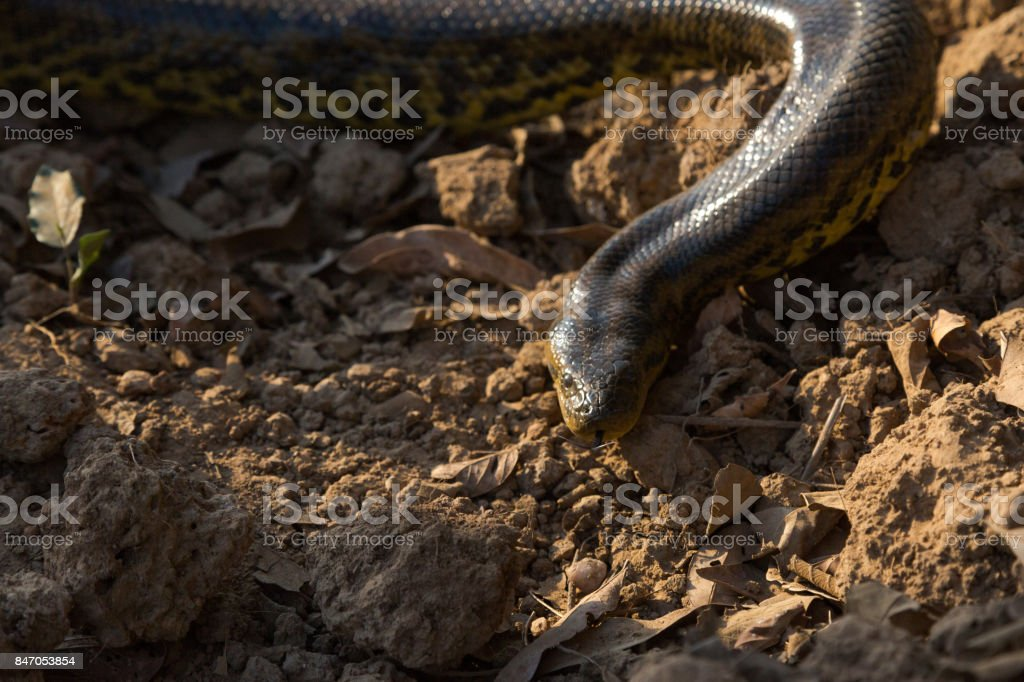 Yellow Anaconda on Transpantaneira Road stock photo