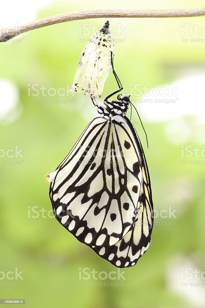 Yellow and black butterfly clinging to empty cocoon stock photo