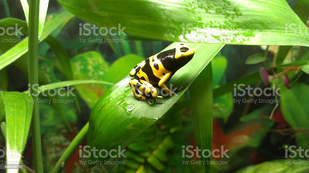 yellow and black dart frog Leucomelas beautiful frog Vivarium stock photo
