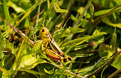 Yellow and black grasshopper