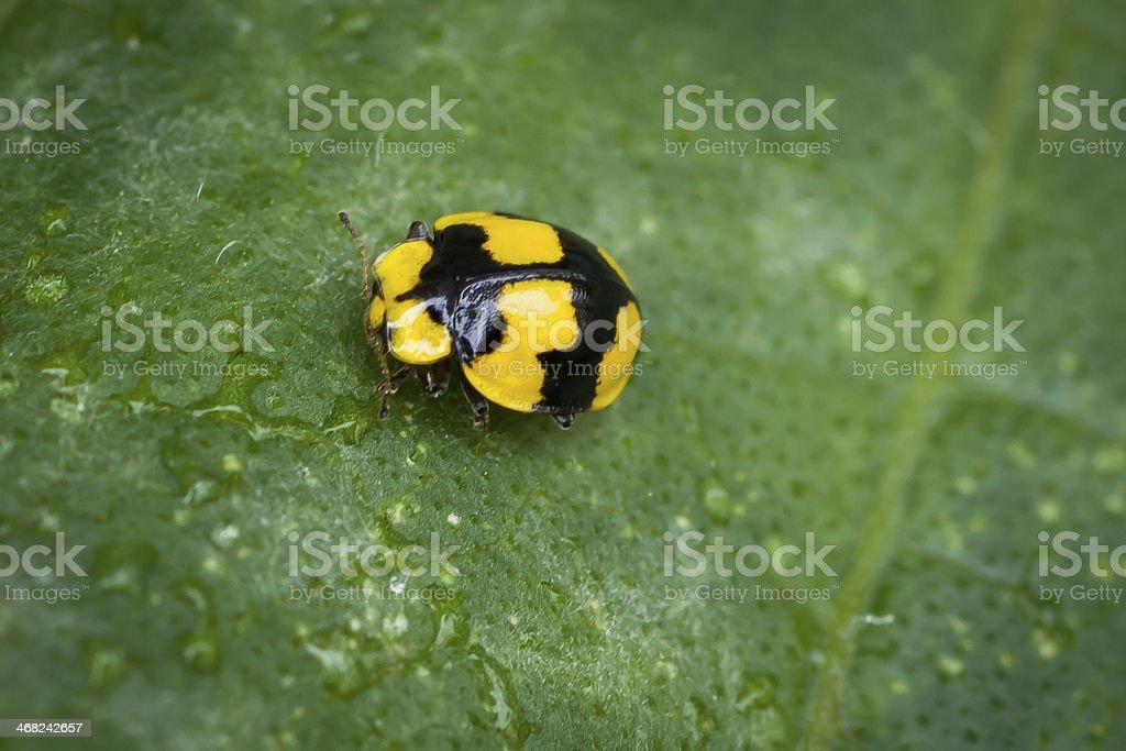 Yellow and Black Ladybug on Leaf with Fungus stock photo