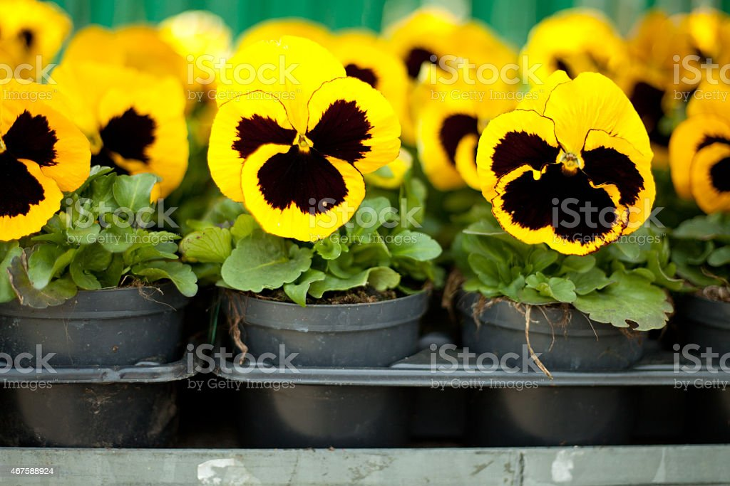 Yellow and black Pansy flowers stock photo