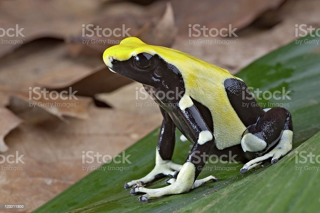 yellow and black poison dart frog royalty-free stock photo