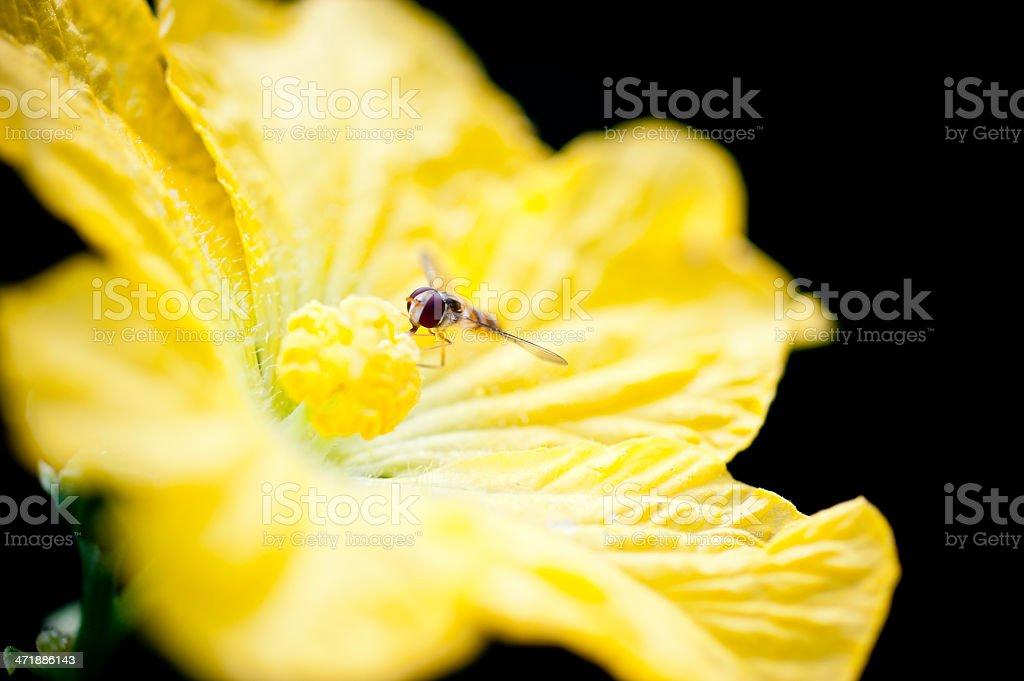 Yellow and black stripe fly royalty-free stock photo