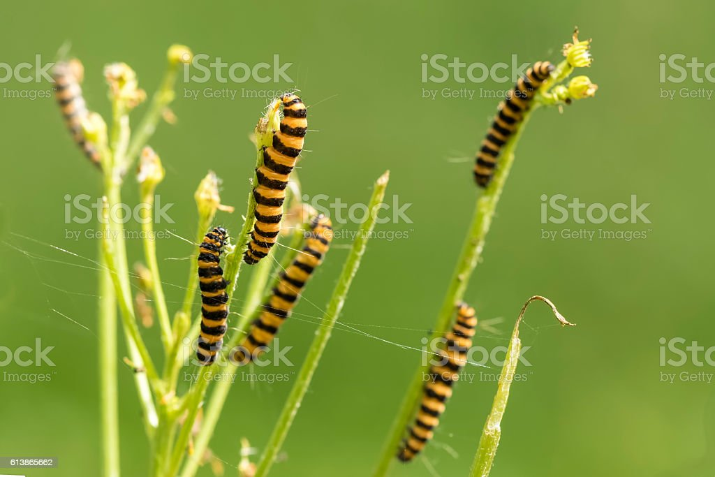 Yellow and black striped Cinnabar caterpillars feeding stock photo