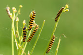Yellow and black striped Cinnabar caterpillars feeding