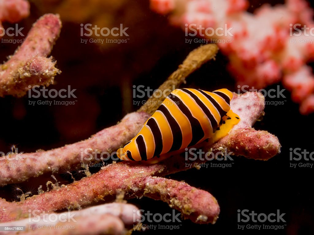 Yellow And Black Striped Tiger Cowrie stock photo
