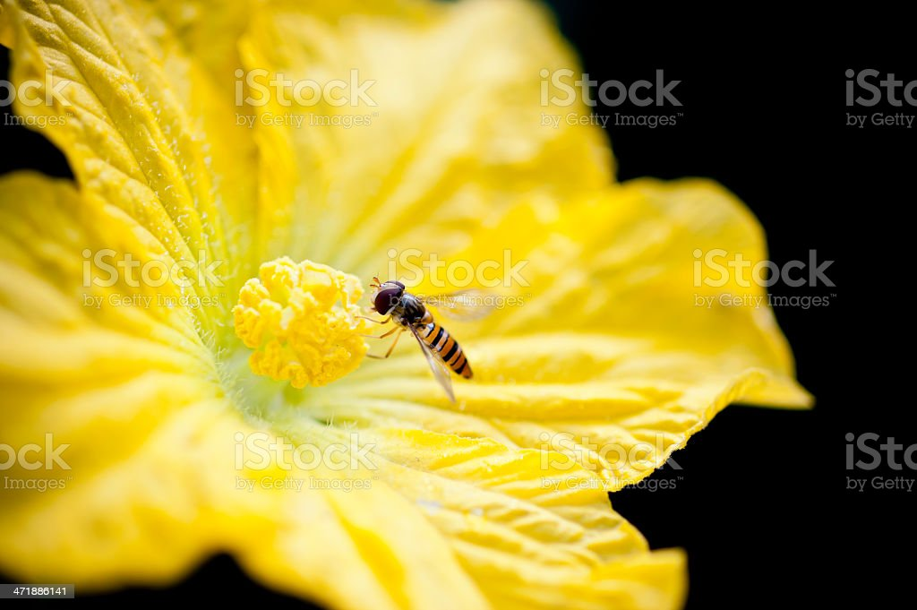 Yellow and black stripes fly royalty-free stock photo