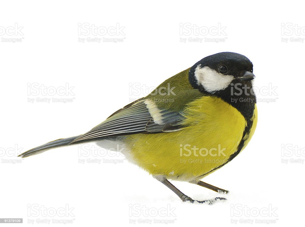 A yellow and black titmouse on a white background stock photo