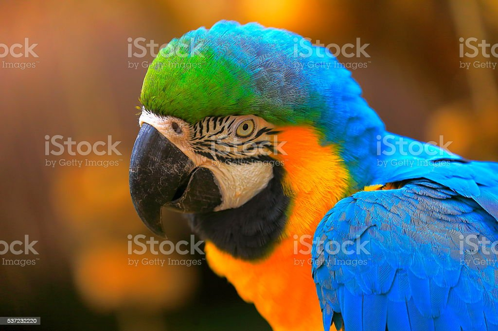 Yellow and blue macaw tropical BIRD, brazilian rio rainforest stock photo