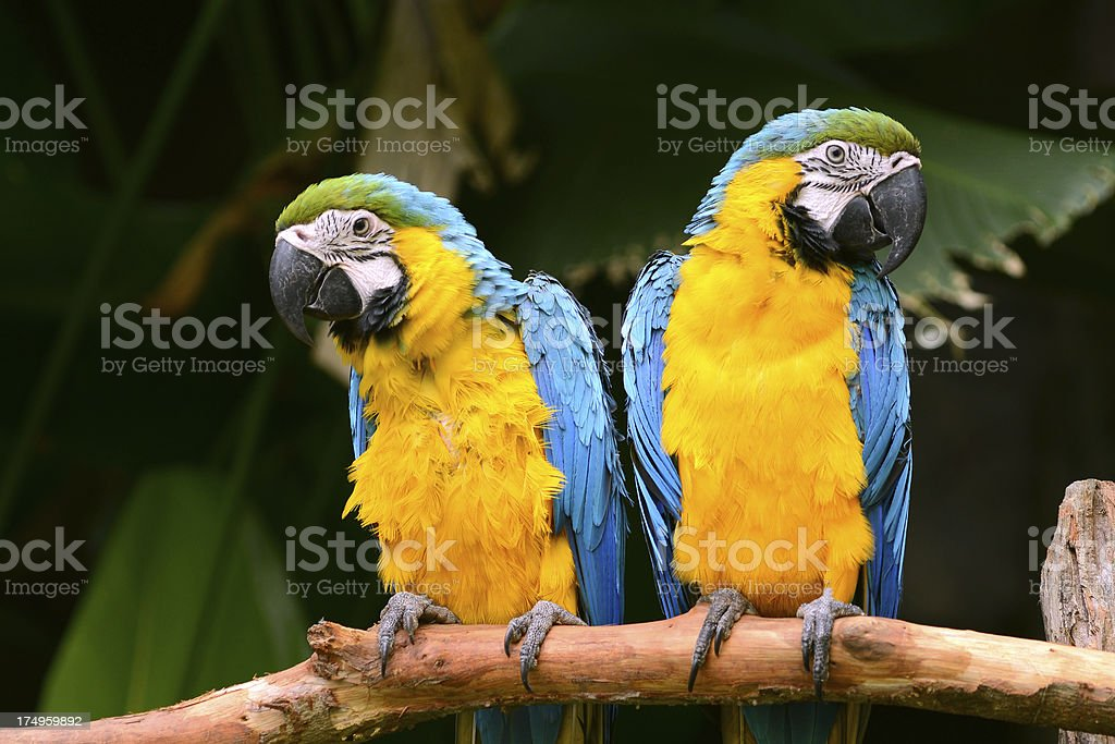 Yellow and blue Parrot royalty-free stock photo