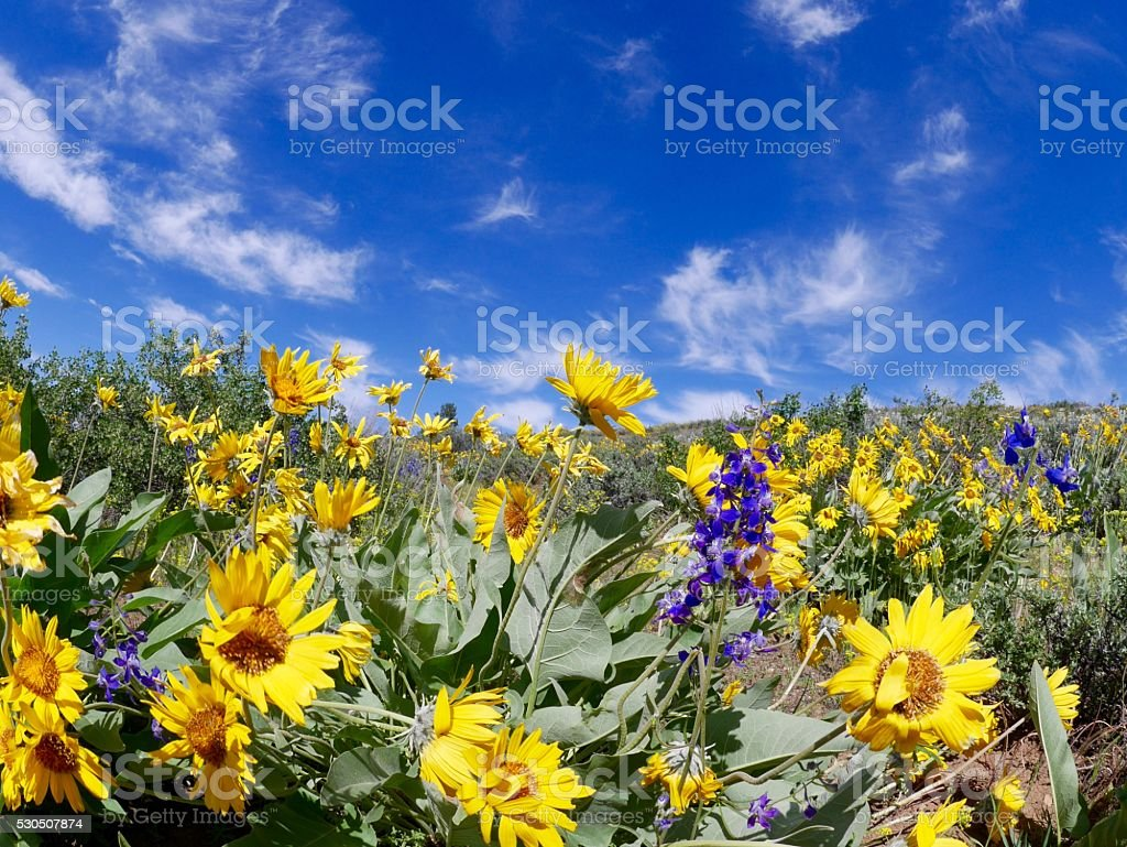Yellow and Blue Wild Flowers, Blue Sky and Clouds. stock photo