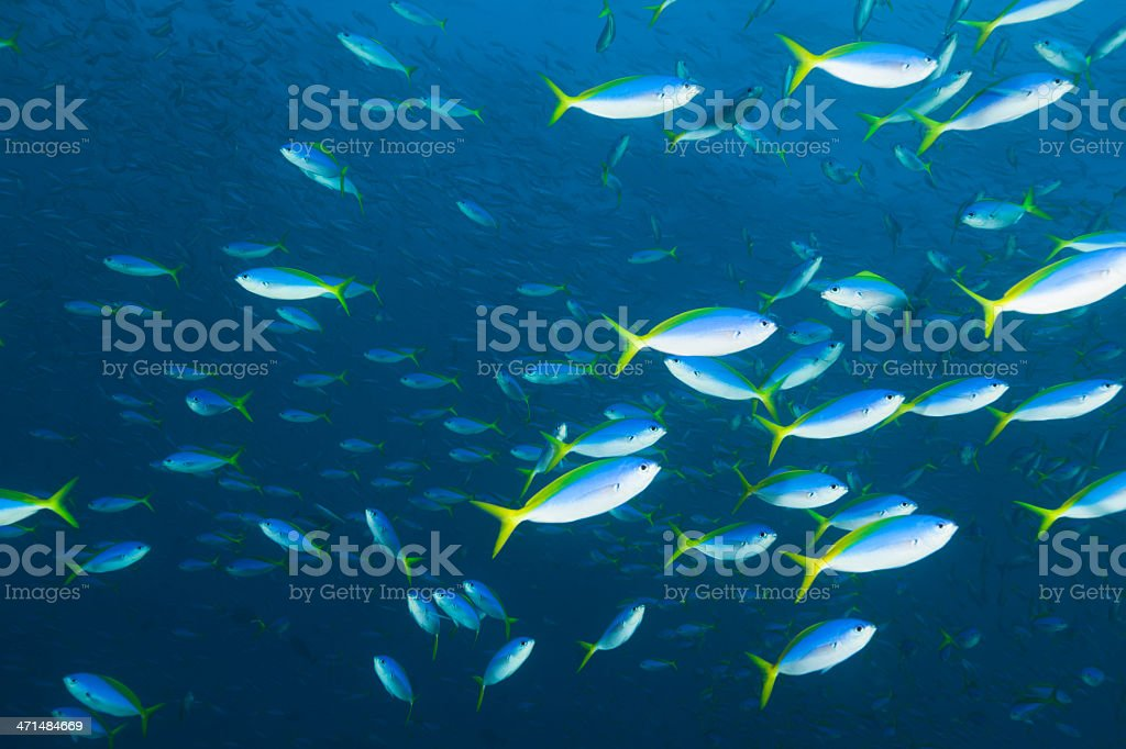 Yellow and Blueback Fusilier School Deep Down, Komodo Nationalpark, Indonesia stock photo