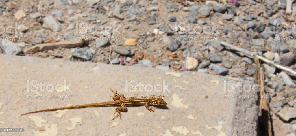 yellow and brown lizard stock photo