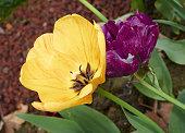 Yellow and dark pink tulip flowers macro on nature background.
